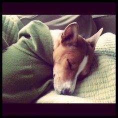 Sleepy Basenji Photographed by Valerie McNichols, IOBette #Basenji