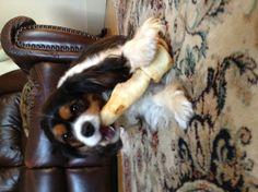 Tucker is enjoying his bone in the morning!!