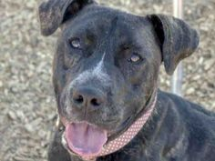 A1689078 –Tammy is a 1-year-old female, brindle and white American Pit Bull Terrier mix at the Eastside shelter. Tammy is well behaved, smart, loving, and is move-in ready. She will steal your heart when you meet her. She loves to go for walks. Tammy enjoys everyone she meets. Tammy can follow basic commands and enjoys learning new things.  Don't miss out on the chance to meet this great girl. www.cabq.gov/pets or call 311 for info (Happy girl)