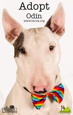 Meet Odin, a Petfinder adoptable Bull Terrier Dog | Manassas, VA | Odin is officially ready for his forever home! He joined us in late Dec. 2014 as an owner...