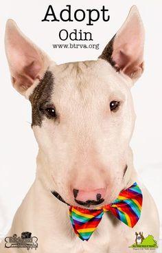 #BullTerrier I'd LOVE to #adopt him!!