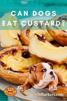 Can dogs eat custard? No, dogs should not eat custard, although it will not likely be fatal for them. Custard contains lactose, saturated fats, and sugars, all of which are not good for your dog's health because it can cause stomach upset, weight gain, and dental problems. What Should I Do If My Dog Eats Custard? Check the list of ingredients for anything toxic such as chocolate or xylitol. Then try to determine how much your dog has eaten. Next, give your veterinarian a call. . If there is Dental Problems, Can Dogs Eat, Dog Eating, Saturated Fat, Custard, Weight Gain, Your Dog, Canning, Chocolate