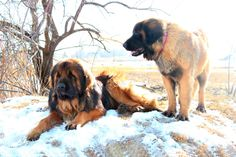 Leonberger pups for adoption from fishburn Homestead & Kennel Giant Schnauzer, Puppies For Sale, Homestead, Website
