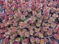 'Red Carpet' sedum, (Kamtschaticum Variegated)-?/2014