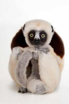 This Photographer Is on a Mission to Document Animal Species before They Go Extinct A Coquerel's sifaka, Propithecus coquereli, at the Houston Zoo. Photo by Joel Sartore/National Geographic Photo Ark. Primates, Mammals, Rare Animals, Zoo Animals, Funny Animals, Creepy Animals, Extinct Animals, Wild Animals, Especie Animal