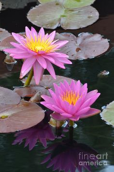 Rare Flowers, Flowers Nature, Exotic Flowers, Amazing Flowers, Beautiful Flowers, Lotus Flower Wallpaper, Lotus Flower Pictures, Lily Pond, Water Lilies