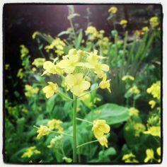 Cai flower