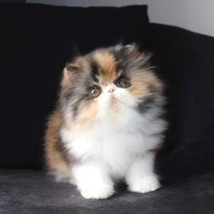 Cute Kittens, Cute Baby Cats, Cute Cats And Kittens, Cute Baby Animals, Animals And Pets, Pretty Cats, Beautiful Cats, Animals Beautiful, Gato Calico