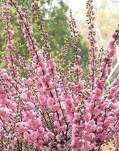 Prunus triloba (amandier de Chine)