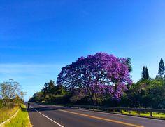 I brake for jacarandas! Upcountry Maui Hawaii