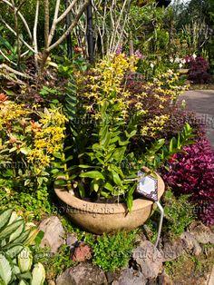434151 - Dendrobium Amitabh Bachchan, National Orchid Garden, Singapore
