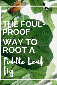 Rooting a fiddle leaf fig cutting can be hard, but this guide will help you get it right every single time. Soon, you'll have more fiddle leaf fig plants than you know what to do with. #fiddleleaffig #plantcare #indoorplantcare