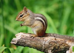 Chipmunk -All Creatures Great and Small | Elysa Darling | Flickr - Photo Sharing!
