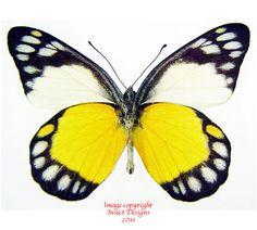 Papillon Butterfly, Butterfly Sketch, Butterfly Pictures, Butterfly Baby, Butterfly Painting, Butterfly Design, Butterflies Flying, Beautiful Butterflies, Butterfly Cocoon