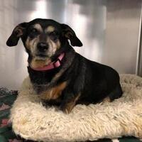 Dachshund Adoption, Pet Adoption, Morton Grove, Foster To Adopt, Finding Your Soulmate, Illinois, Dog Cat, Meet, Puppies