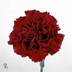 Carnation Crimson Tempo is great  for winter wedding flower arrangements! They add detail to the overall flower arrangemant and are great winter colours! Head over to www.trianglenursery.co.uk to find out more info! Great wholesale prices!
