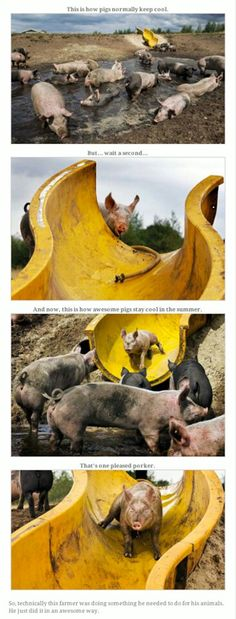 Happy pigs. Never thought I would see pigs and a slide in the same photo let alone pigs having fun going down the slide.