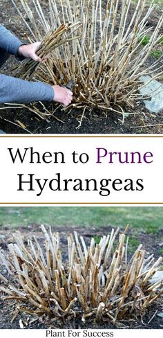 Knowing when to prune hydrangeas can be confusing Some hydrangeas bloom on old wood and others on new wood Incorrect pruning could mean cutting off flowers Check out this guide for correct pruning methods and hydrangea care hydrangeagarden # When To Prune Hydrangeas, Pruning Hydrangeas, Planting Flowers, Pruning Plants, Flowers For Planters, Flowers For Garden, Shade Flowers, Pink Garden, Garden Yard Ideas