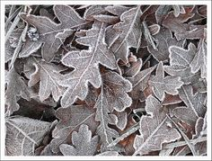 Oak leaves with hoar frost by Carolyn Saxby