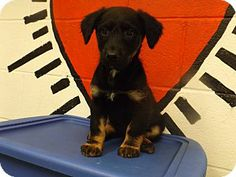 URGENT! Act quickly to adopt 14D-0682 (4/27). Pets at this Shelter may be held for only a short time. Rome, GA - Shepherd (Unknown Type) Mix. Meet 14D-0682 (4/27) a Puppy for Adoption.
