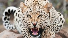 """Is Cheetah Going to Be Extinct & Disappear from Our Life?   - Cheetah is biologically classified as a large feline or as it is commonly and informally known """"big cat"""". It lives in Africa and some areas in Ira... -   ."""