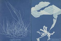 The Rijksmuseum in the Netherlands has acquired a photography first: the first book to be illustrated with photos, by a pioneering female photographer: ANNA ATKINS Cyanotype, Female Photographers, Atkins, Photo Book, Netherlands, Past, 19th Century, Anna, Illustration