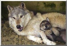 PLEASE help save the Wyoming wolves...they don't deserve to be killed off!  They are God's precious creatures, too!