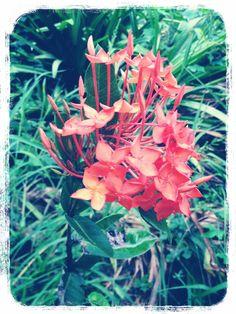 """First Time"" 08.2558 Rubiaceae: เข็ม"