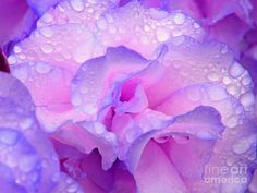 wet rose petals | Wet Rose In Pink And Violet Photograph by Nareeta Martin - Wet Rose In ...