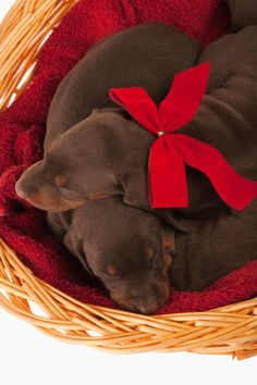 """Doberman Pinscher Puppies- Now THAT's what """"I"""" Call a present for Christmas!"""