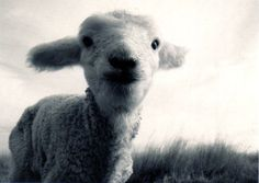 black-and-white-animal-photography-lamb awwwww