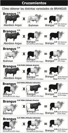 Livestock Judging, Livestock Farming, Breeds Of Cows, Sheep Breeds, Gado Angus, Dexter Cattle, Raising Cattle, Raising Farm Animals, Bucking Bulls