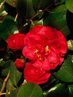 'Granada' Camellia