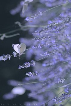 Just like the butterfly. I will stay on my lavender blue. Lavender Cottage, Lavender Blue, Lavender Fields, Lavender Flowers, Lavender Scent, Beautiful Butterflies, Beautiful Flowers, Simply Beautiful, Lavenders Blue Dilly Dilly