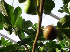 fig-tastic - I love this site: http://www.figtrees.net/