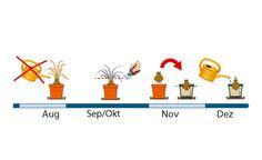 Amaryllis Pflege August bis Dezember