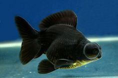 Demekin Goldfish | Thread: 2013 Goldfish Catalogue