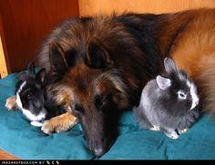 Dog protects bunnies
