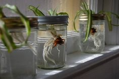 how to take cuttings from a spider plant