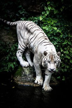 Awesome tiger... Would make a fab tat if done right!