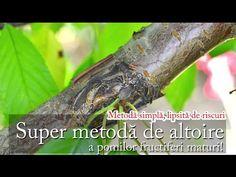 Super metodă de altoire a pomilor fructiferi maturi