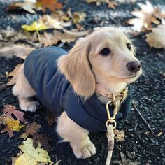 DJANGO Reversible Puffer Dog Coat How absolutely gorgeous is english cream long-haired dachshund Sausage Dog Puppy, Sausage Dogs, Dachshund Funny, Mini Dachshund, Golden Dachshund, English Cream Dachshund, Corgi Funny, Cold Weather Dogs, Dog Breeds