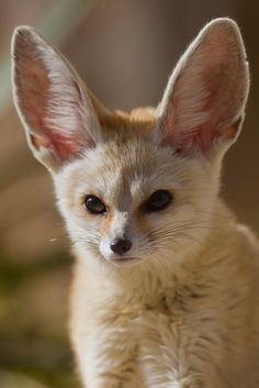 Fennec Fox | by: { asbimages.co.uk }