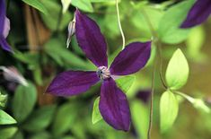 RHS Plant Selector Clematis HARLOW CARR 'Evipo004' PBR / RHS Gardening
