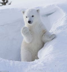 """""""Did you know that polar bear cubs weigh no more than a few pounds at birth? Pretty crazy when you realize that adult male polar bears can reach weights of over 1500 pounds! Cute Baby Animals, Animals And Pets, Funny Animals, Baby Polar Bears, Cute Polar Bear, Polar Cub, Tier Fotos, Cute Animal Pictures, Pictures Of Polar Bears"""