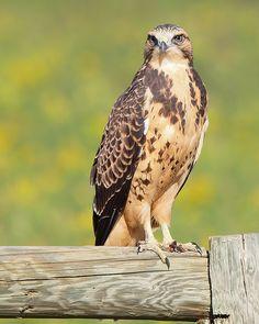 Swainson's Hawk ( Buteo swainsoni )