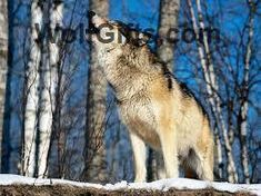 Visit WolfGifts.com for more cool wolf photos. Wolf Photos, Advertising Ads, Cool Stuff, Gifts, Animals, Presents, Animales, Animaux, Animais
