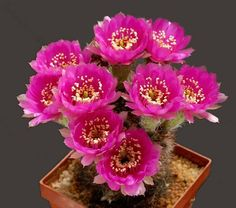 lobivia peclardiana Cacti And Succulents, Cactus Flower, Wreaths, Plants, Rings, Garden, Jewelry, Beautiful, Floral Wreath