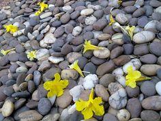 เหลืองปรีดียาธร (Tabebuia aurea)