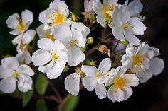 White Out Rose Garden Shrubs, Flowering Shrubs, Knockout Roses, Rose Online, Shrub Roses, White Cups, David Austin, White Gardens, Months In A Year